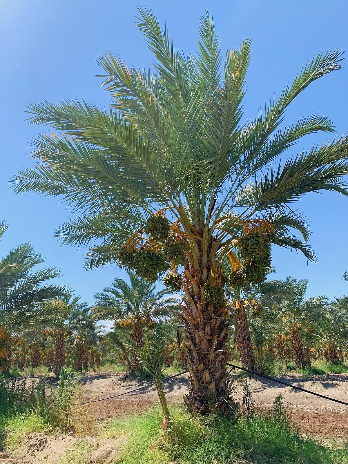date palm trees
