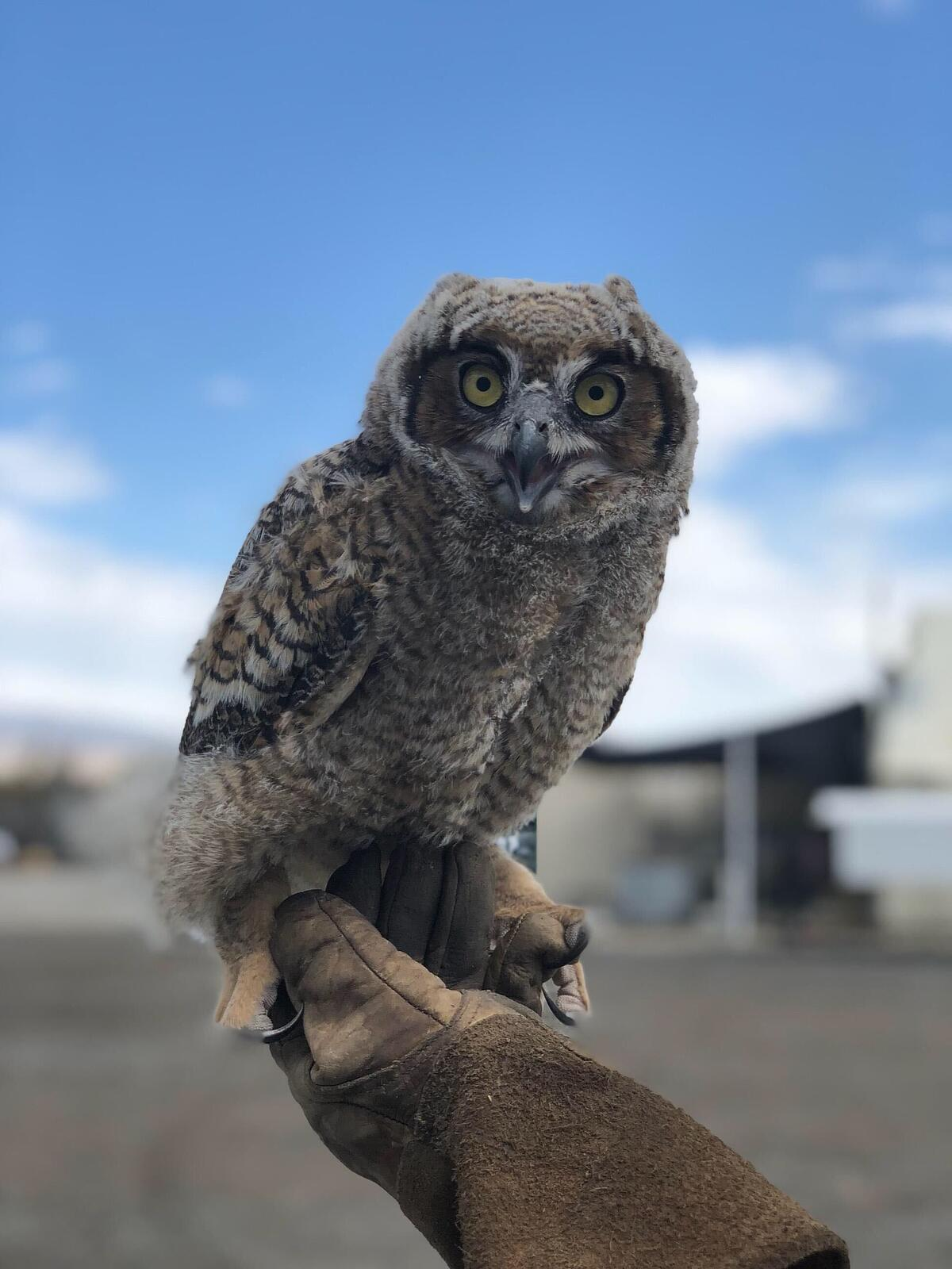 owl from date farm