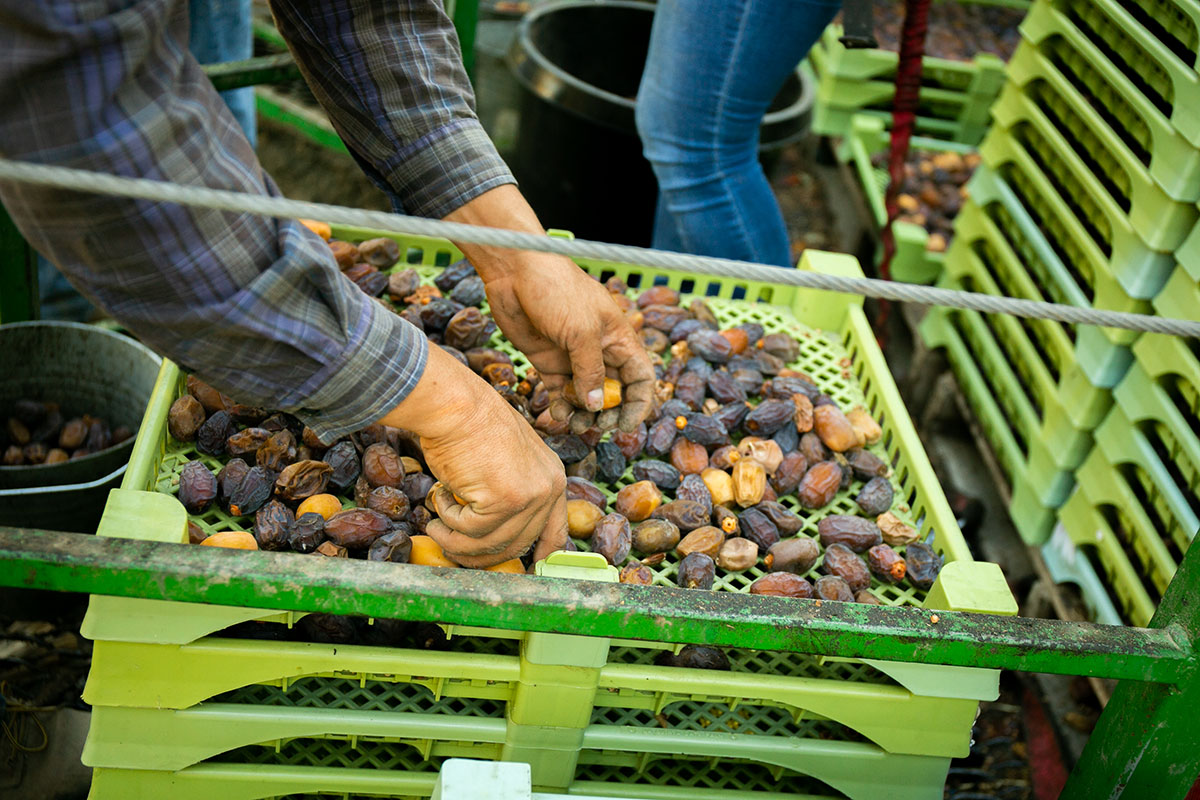 medjool dates wholesale